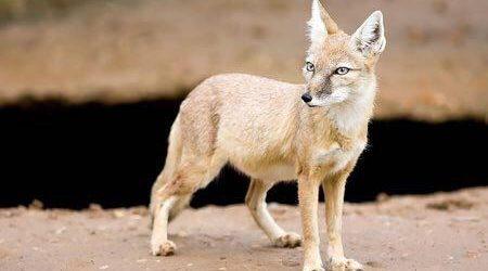 شکار روباه ترکمنی در محدوده مرزی داشلی برون
