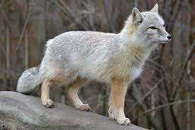 دشت اینچه برون برای روباه ترکمنی امن نیست
